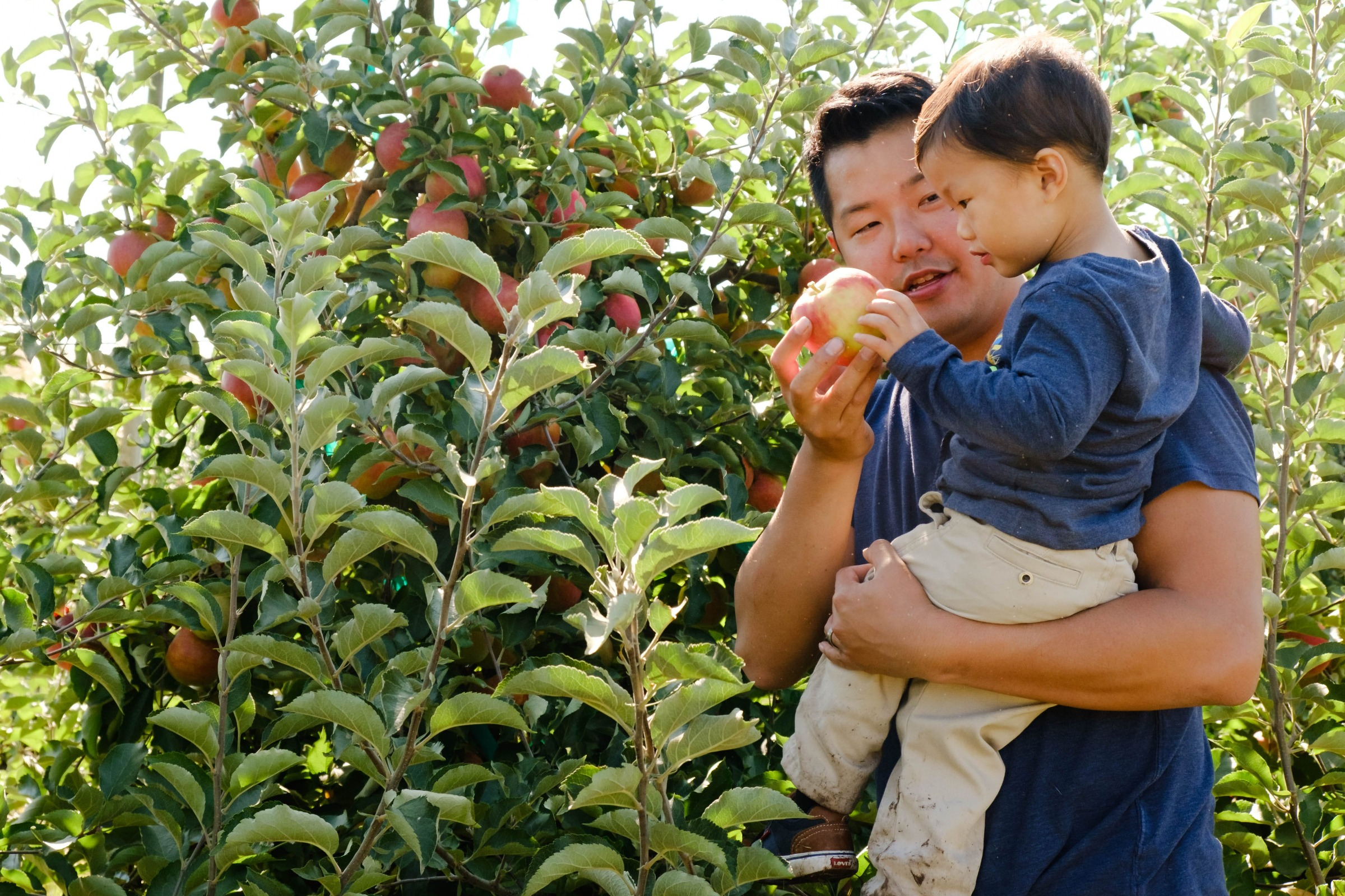 An Asian father picks an apple off of the tree and hands it to his son.