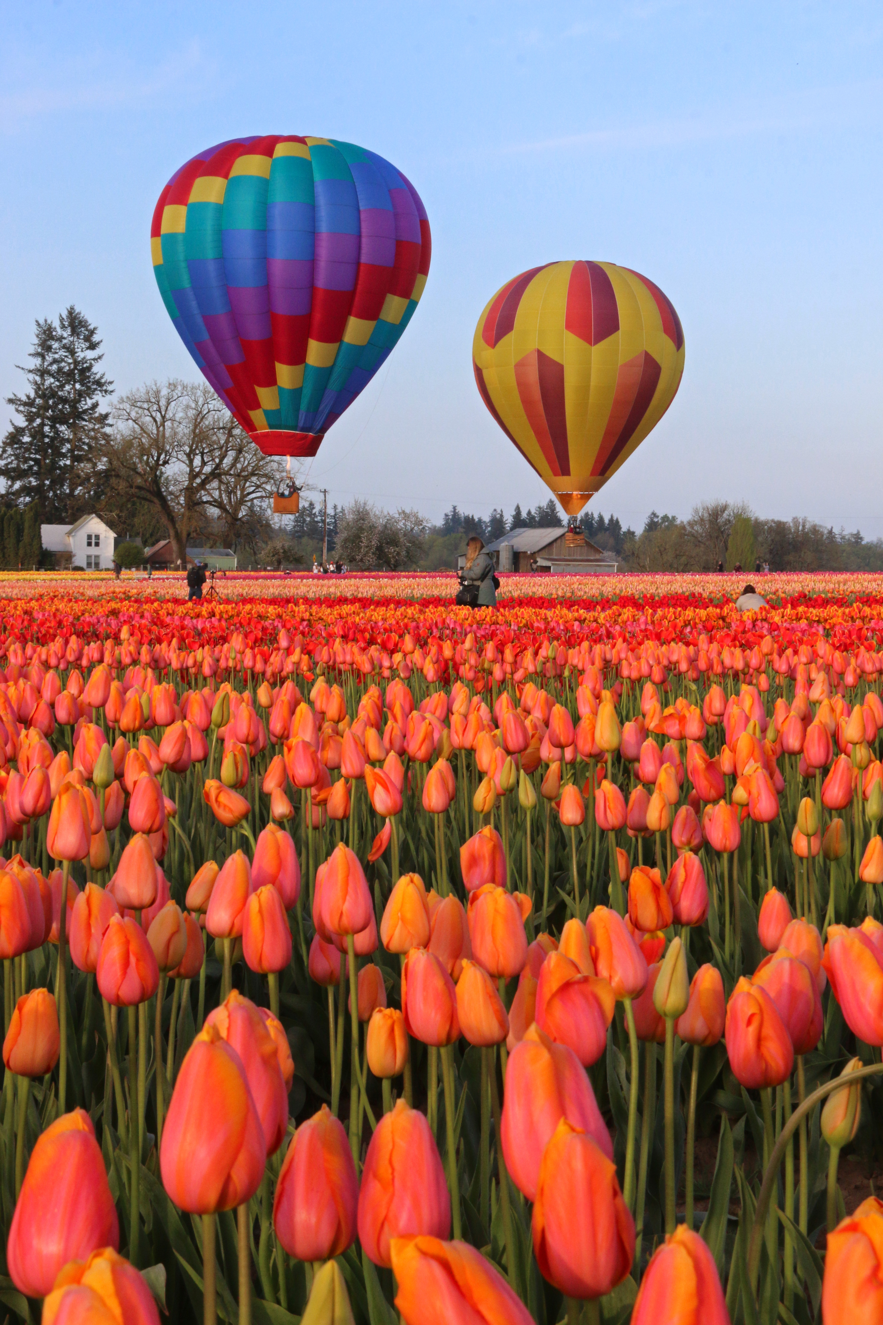 The Historic Roots Of The Wooden Shoe Tulip Fest Oregon Wine Country